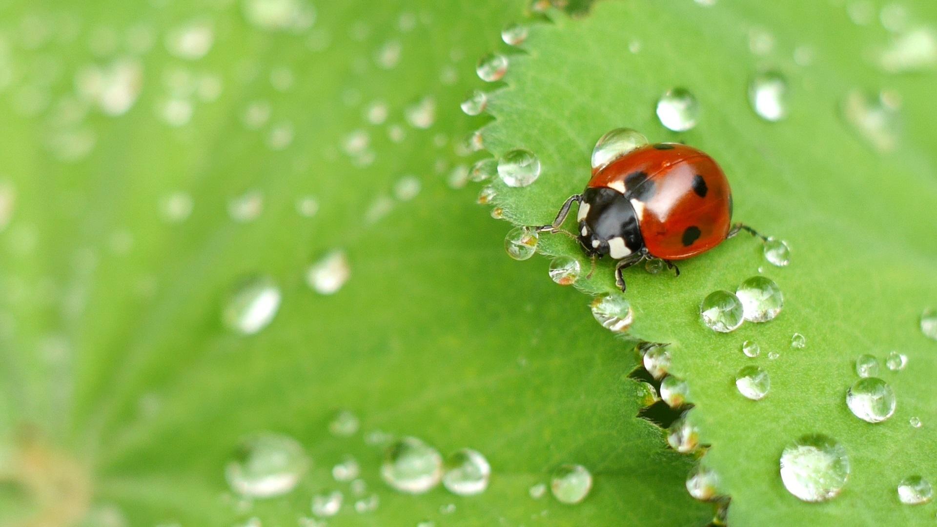 Ladybug and dew drops on a green leaf