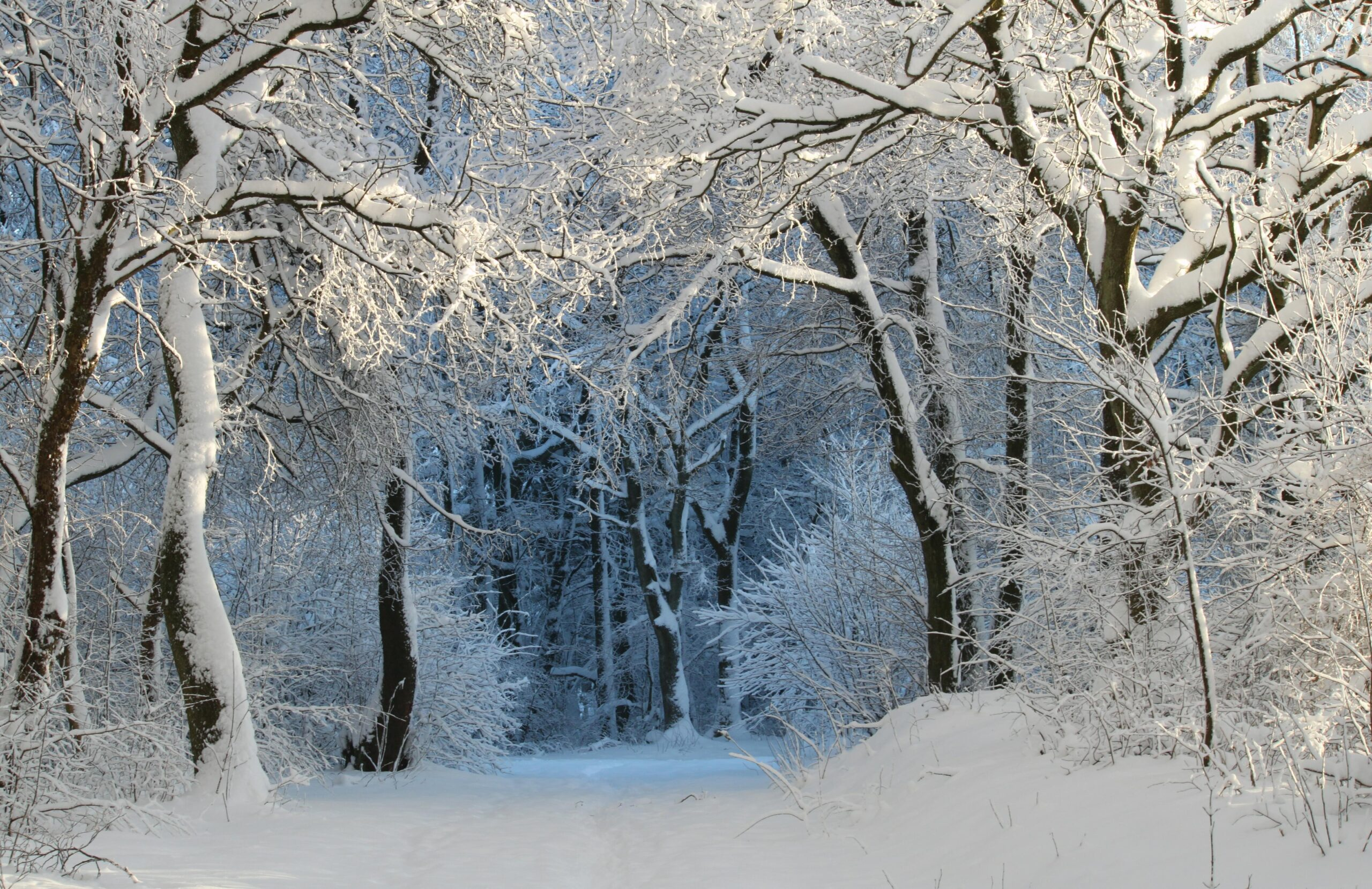 Snow-covered trees in shady forest